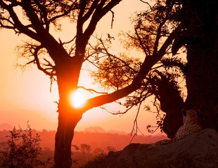 Cheetah sunset wp