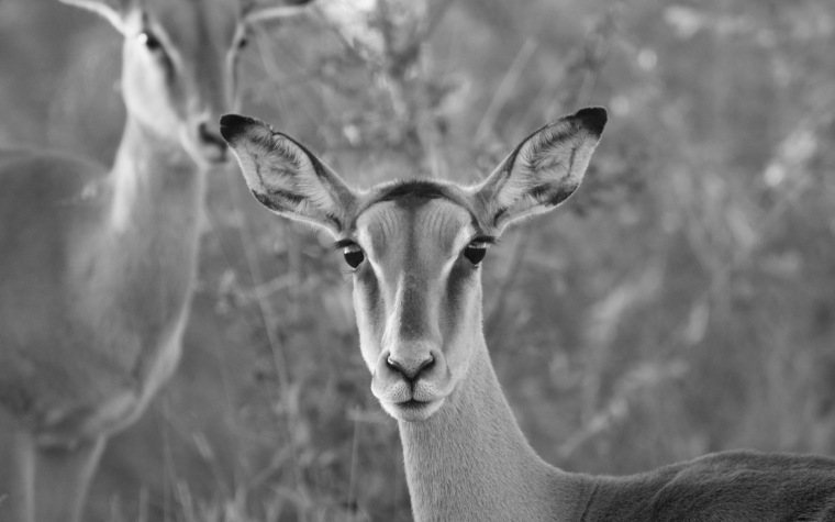 impala wp