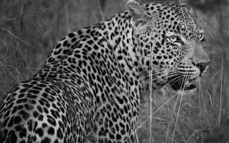 leopard stalk wp