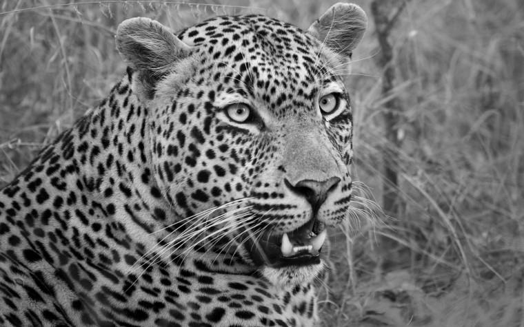 leopard wp close up