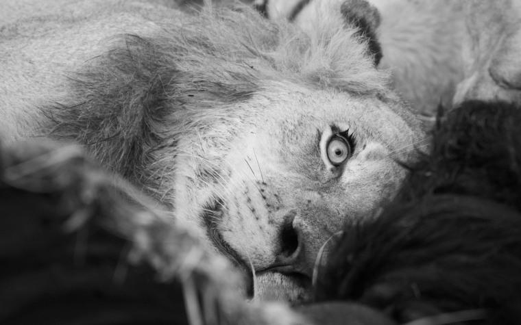 lion peek wp