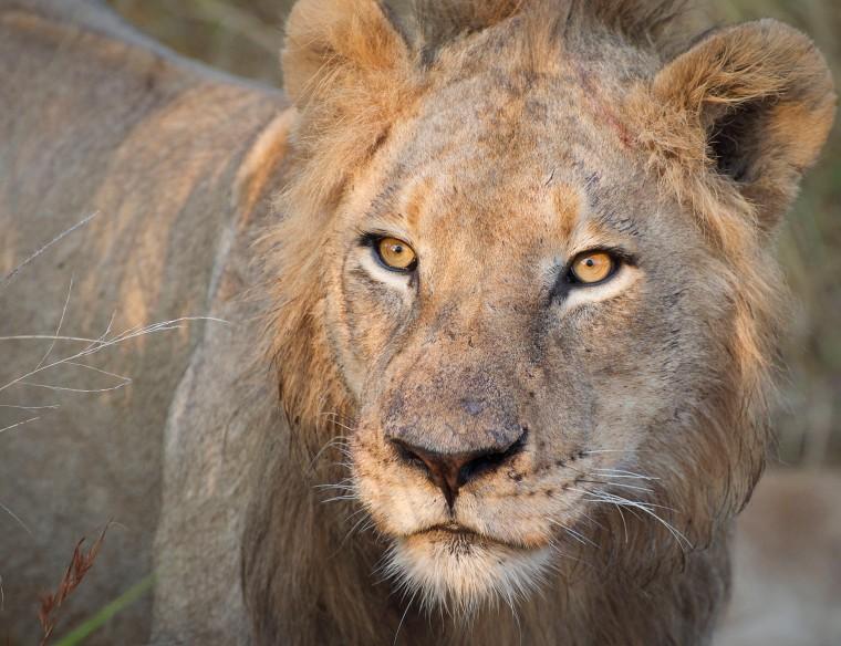 lion wp color